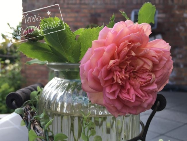 Garten_Rose_Glas