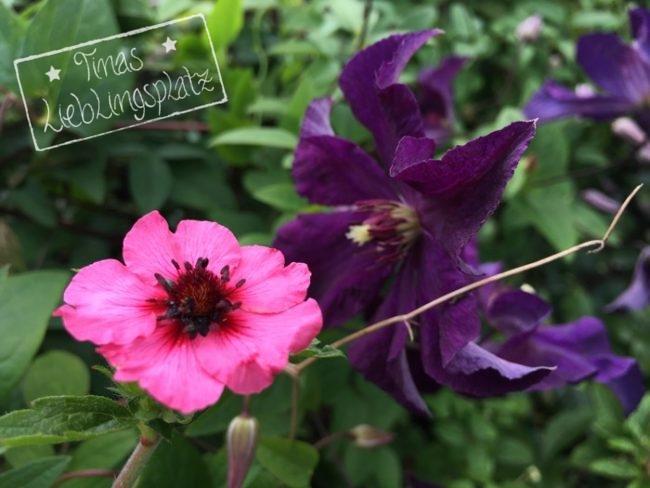 Garten_lilaClematis_pinkeBluete
