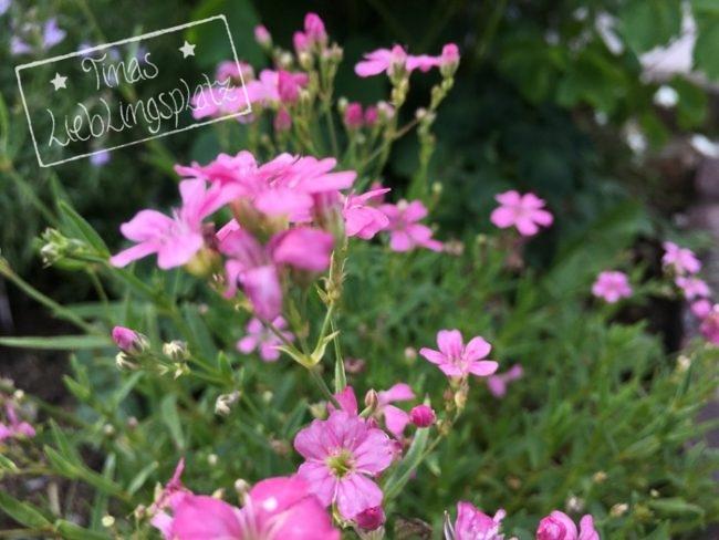 Garten_rosaSchleierkraut